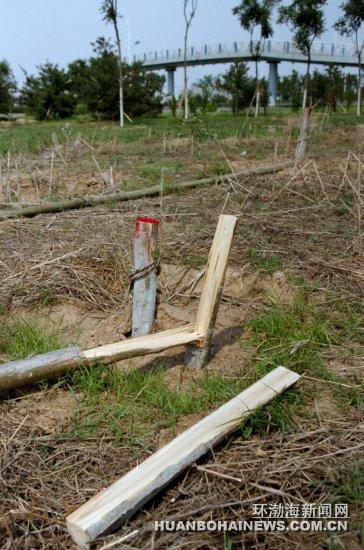 机场连接线绿化带树木被恶意砍伐(图)