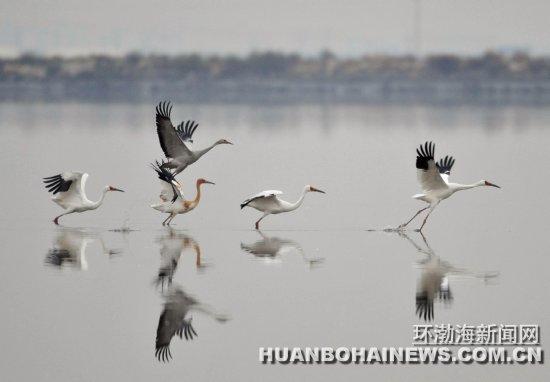 左二灰色沙丘鹤和白鹤在一起