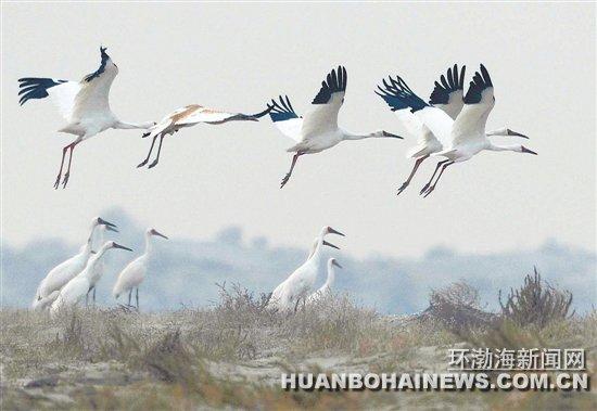 唐山沿海湿地是东亚野生鸟类迁徙通道上的重要