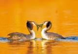 南湖公园里一对凤头公式的温情瞬间(图)