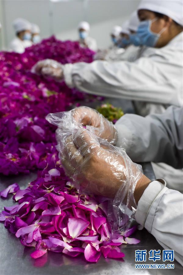 """大马士革玫瑰成脱贫""""幸福之花"""" - 平阴玫瑰甲天下 - 我心永恒博客乐园 平阴玫瑰甲天下"""