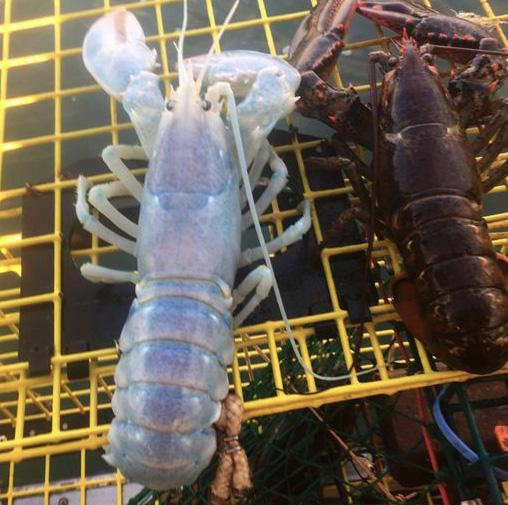 """美国渔民捕获罕见的""""透明龙虾"""""""