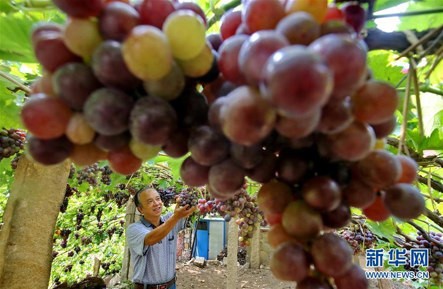 河北昌黎:葡萄沟里葡萄香