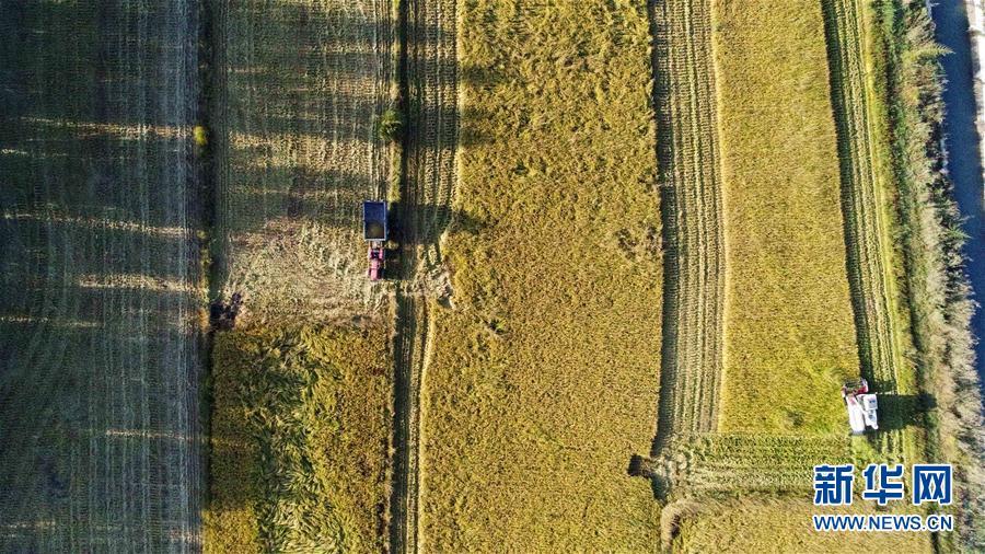 新疆伊犁:稻田收割忙