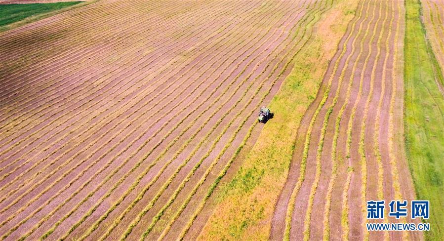 甘肃张掖山丹马场10万亩油菜开始收割
