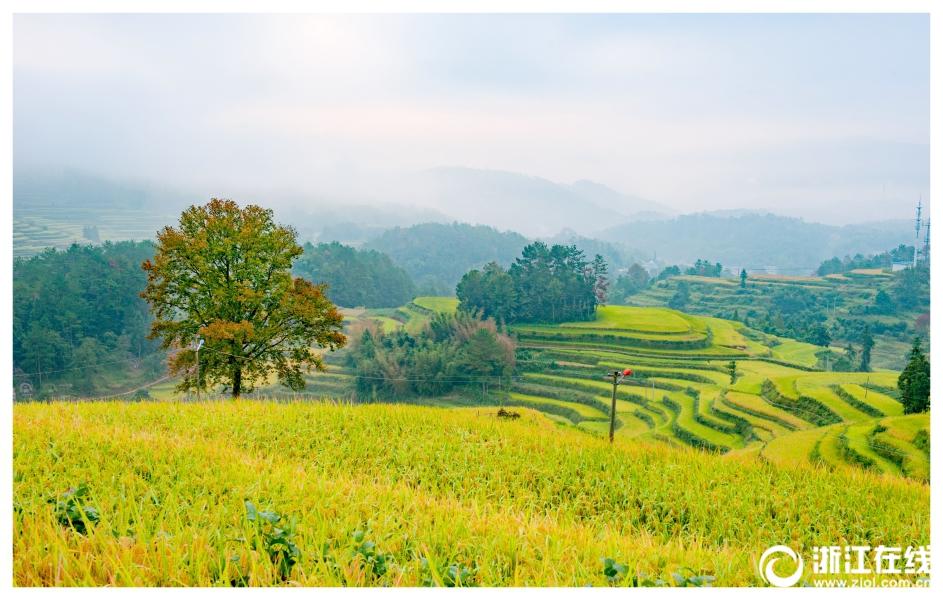 瑞安金川的有机水稻熟了