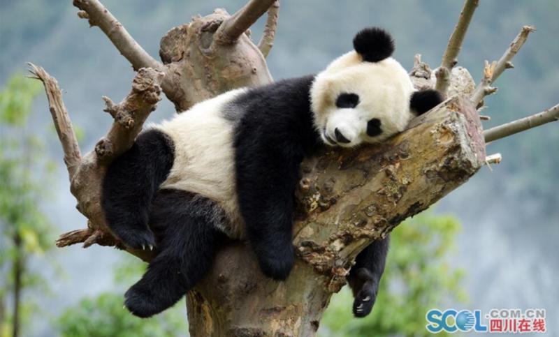 大熊猫享受秋日时光