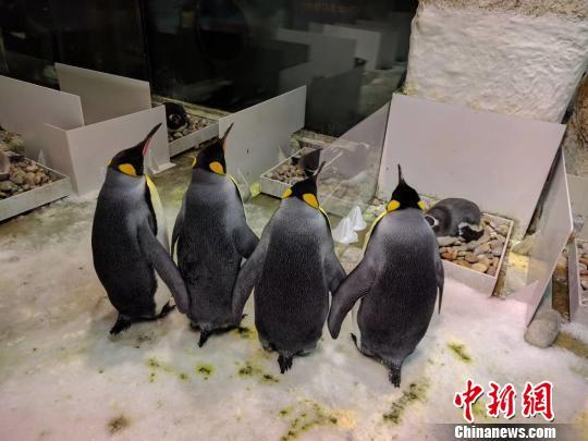 辽宁大连成功孵化出罕见双胞胎企鹅(组图)
