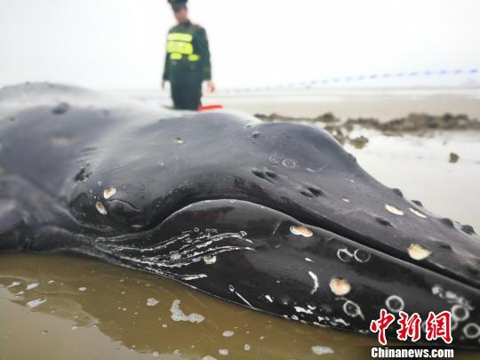 3吨重座头鲸搁浅启东海滩 营救5小时脱困游回大海