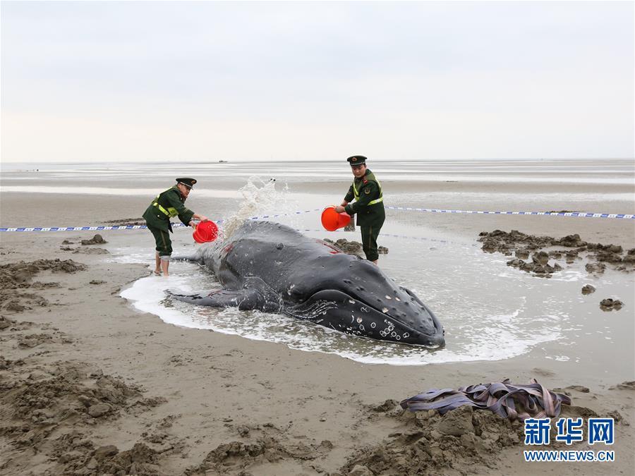 江苏启东:营救搁浅座头鲸