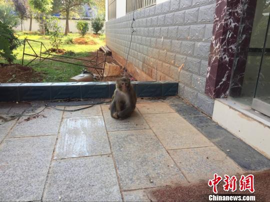 二级保护动物猕猴闯进民家 居民饲养两月上交森警