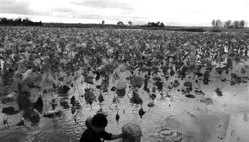 2000亩藕塘刚上市即遭滞销 从最高7元跌至几毛钱
