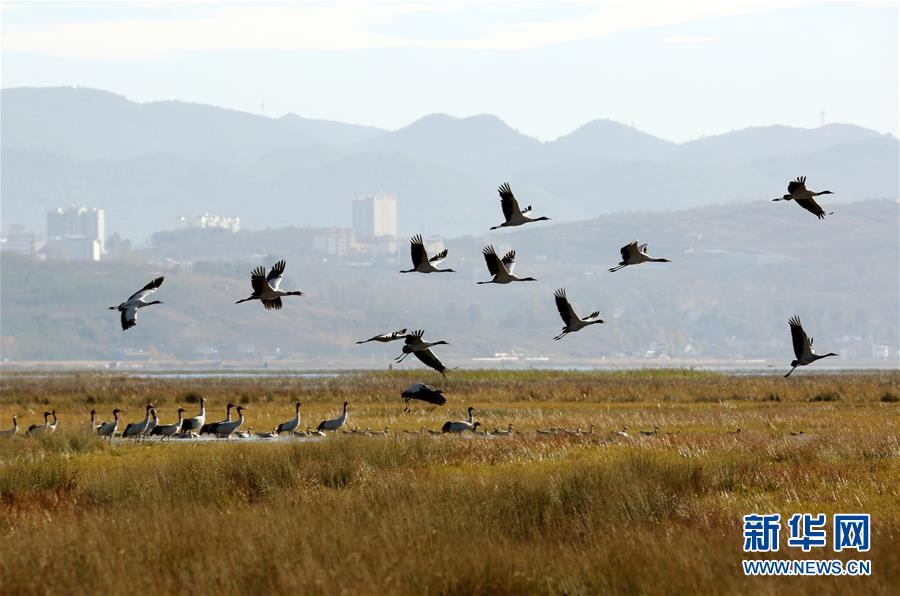 贵州草海陆续迎来越冬候鸟