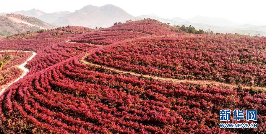 安徽庐江:蓝莓入冬时 红叶满山坡