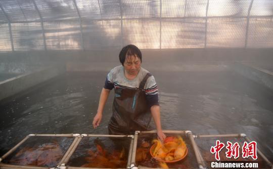 河北地热大县的循环梯度利用新模式:除了供暖还能养鱼种莲