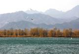 唐山遵化清东陵保护区吸引成群候鸟红嘴鸥(组图)