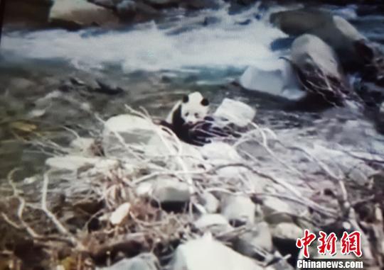 四川宝兴一村民手机拍摄到大熊猫下山找水喝(图)