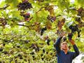 种植葡萄促增收(图)
