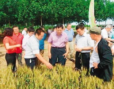 中国杂交小麦研发领跑国际 可增产20%以上(图)