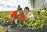 唐山:迁安都市科技农业游受青睐(图)