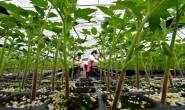 滦州:专业育苗富农家