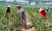 滦州安各庄的蓝莓熟了!(组图)