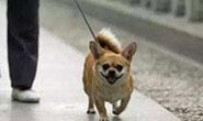 小事折射文明!唐山遛狗拴绳的多了 路上宠物粪便少了