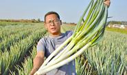 唐山迁安村民引种日本钢葱喜获丰收