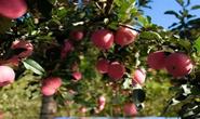 盼援手!古冶残疾夫妻3000多公斤苹果成熟,却无力售卖