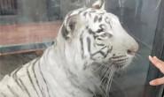 """北京动物园一老虎不停绕圈,园方:经""""心理疏导""""已恢复"""