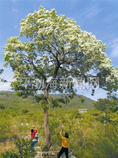 迁安500余岁古茶树花开正盛