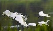 新华社聚焦|唐山:鹭鸟南湖舞翩跹