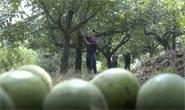 视频|迁安:小核桃助农增收