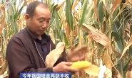 秋粮丰收成定局!全年粮食产量有望高位增产
