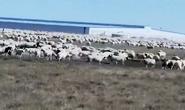3万只羊,又有新消息了!