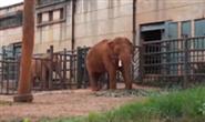 视频|大象误食塑料袋?游客随意投喂该停下了