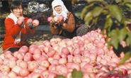 75万公斤苹果滞销!滦南县北圈村果农求助!