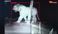 吉林大兴沟林区首次拍摄到野生东北虎实体影像