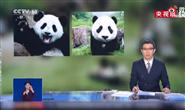 中国竟有两种大熊猫:一种更像熊,一种更像猫