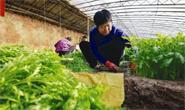 丰南:设施蔬菜富农家